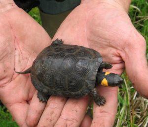 PA Bog Turtle Surveyor