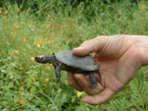 Bog Turtle Surveyor in Bucks County Pennsylvania